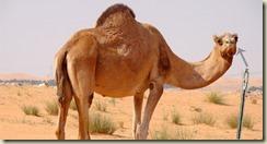 camel - needle - 03
