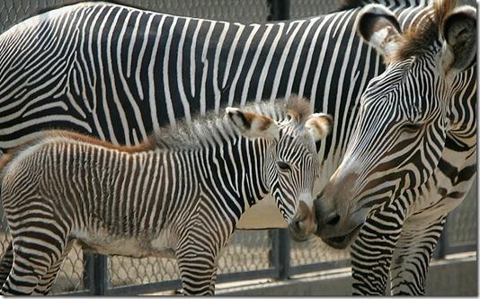 Peru Newborn Zebra