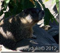 Marmot on Bike Trail
