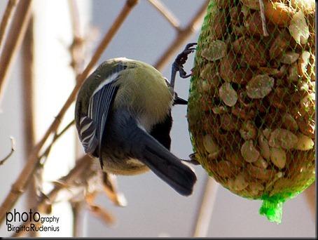 bird_20120314_talgoxe