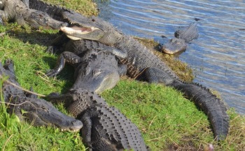gators at Big Cypress Visitor Center