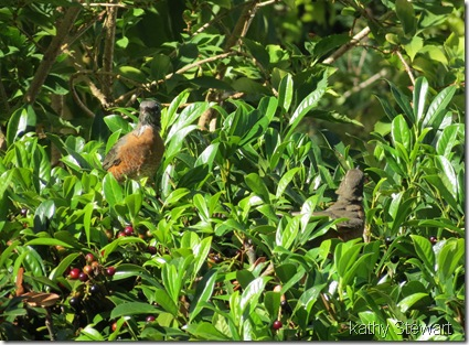 Robins in the bushes