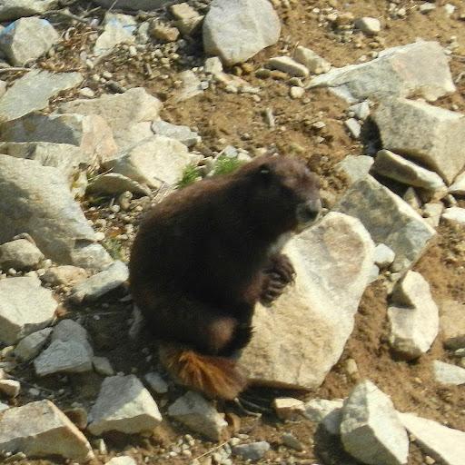 Vi.marmot%25252cdscn4337