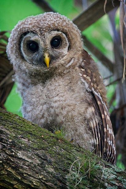 Owl2jpg