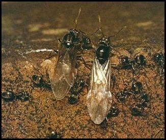 lasius formiche alate