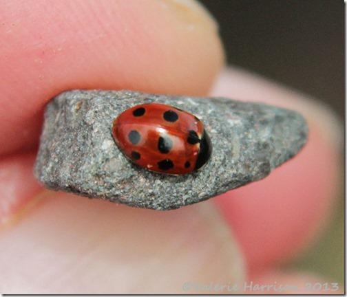 6-eleven-spot-ladybird