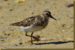 n Semipalmated Sandpiper D7K_3117 August 13, 2011 NIKON D7000 - Copy