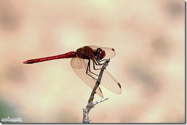 Flecha Roja macho.