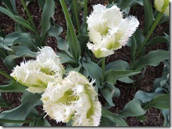 Snow valley Tulip