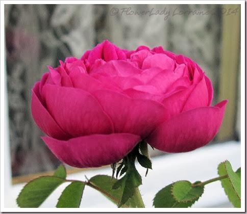 02-19-rose-de-rescht