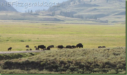 IMG_8356Bison_ LamarValley