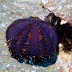 Collector Urchin - Photo (c) DavidR.808, some rights reserved (CC BY-NC-SA)