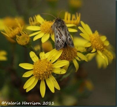 20-antler-moth