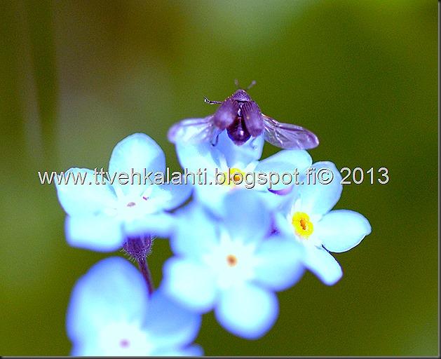 pikkutukkikärsäkkäästä (Hylobius pinastri)  muita hyönteisä 051