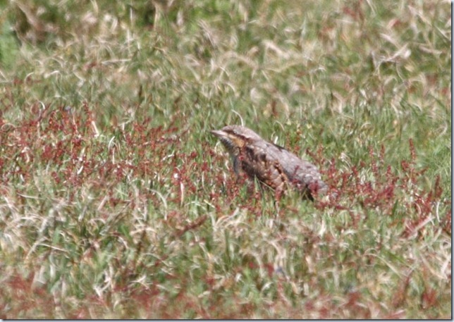 wryneck