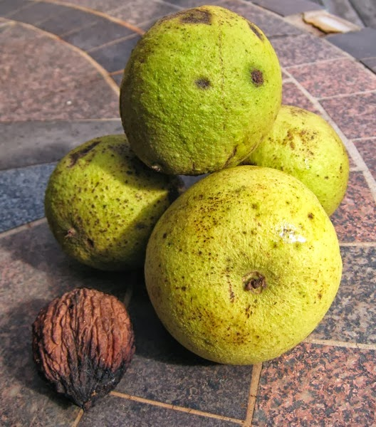 Black Walnuts shelled and direct from tree