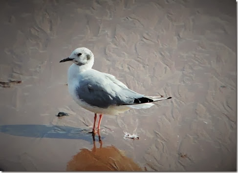 bonapartes gull. teignmouth