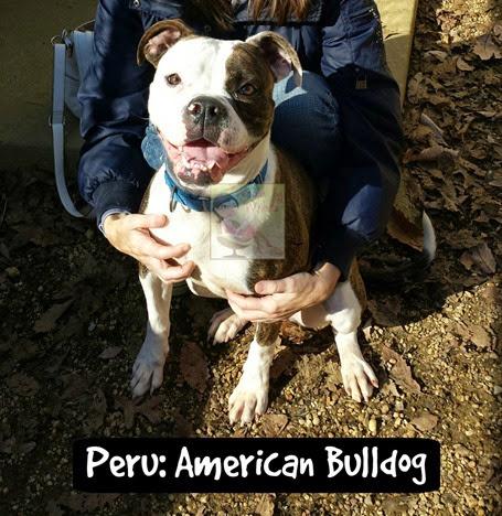 Peru American Bulldog