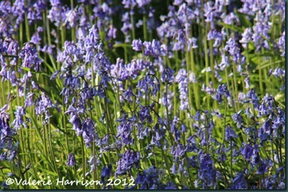 11-bluebells
