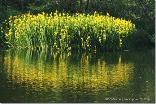 38-yellow-irises