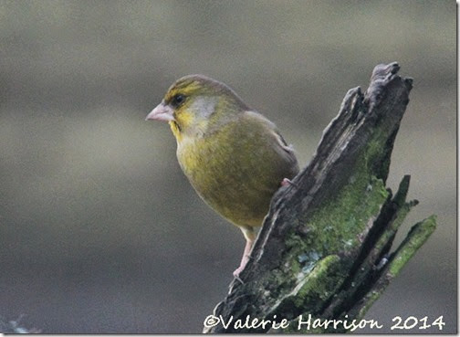 68-greenfinch