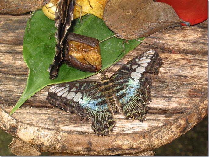 Farfalle 072