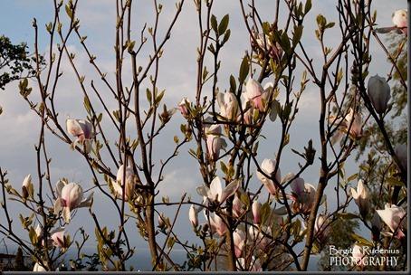 blom_20120511_magnolia