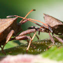 dock bug (Lederwanze)