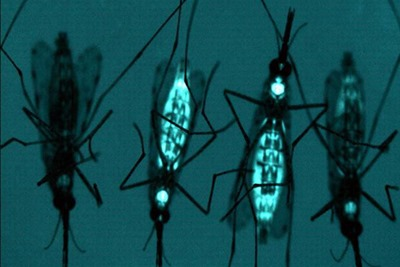 Genetically-Engineered-Mosquitoes
