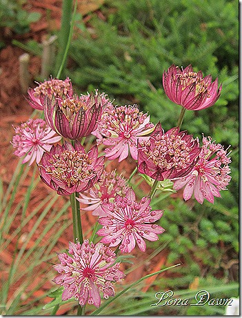 Astrantia_June