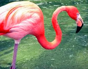 Amazing Pictures of Animals, Photo, Nature, Incredibel, Funny, Zoo, Flamingos or Flamingoes, Phoenicopteridae,  Aves, Bird, Alex (14)