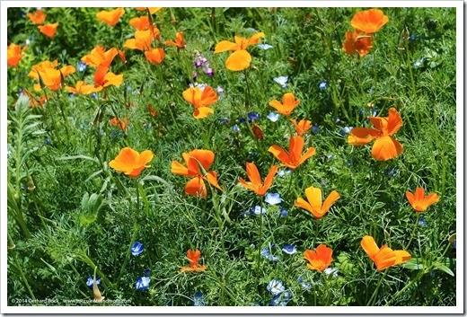 140414_SoDavis_wildflower_meadow_018