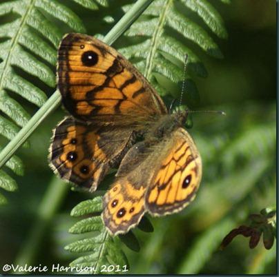 39-wall-butterfly