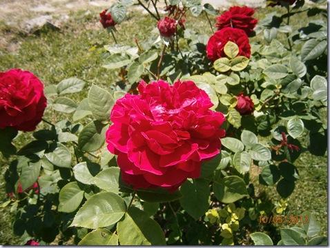 Giardino iris e rose 264