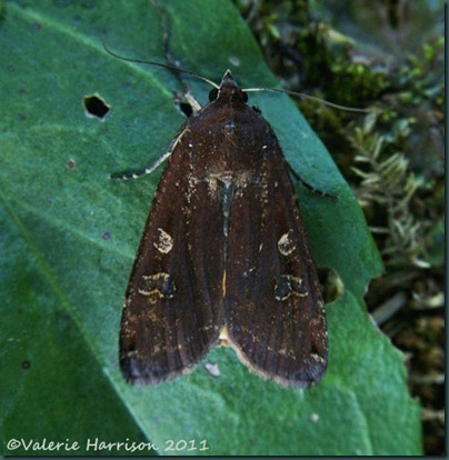 large-yellow-underwing