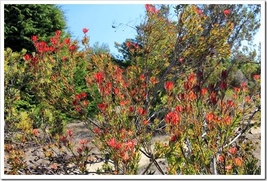 121027_UCSCArboretum_Leucadendron-salignum-Rising-Sun_05