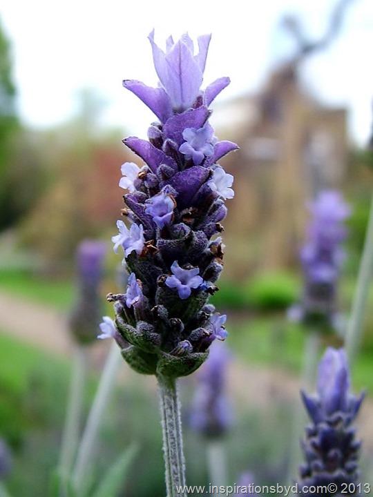 lavender-bract