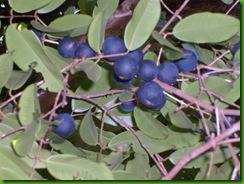 Myrciaria vexator (17)
