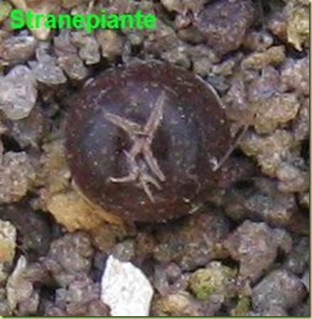 Ariocarpus seedling 10 april