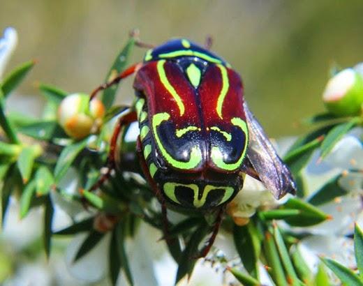 Amazing Pictures of Animals, Photo, Nature, Incredibel, Funny, Zoo, Eupoecila australasiae, fiddler beetle or rose chafer, Insecta, Alex (9)
