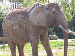 2008.04.26-051 éléphant