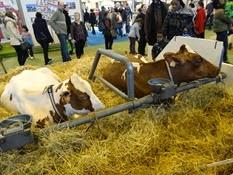 2015.02.26-076 vache pie rouge des plaines