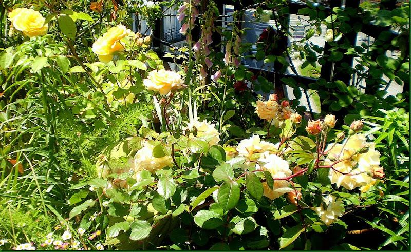 humedad,rosas 011