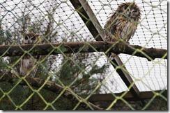 goat muncaster wet owl