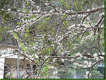 Jaboticabeira em flor 12 out 2011 005
