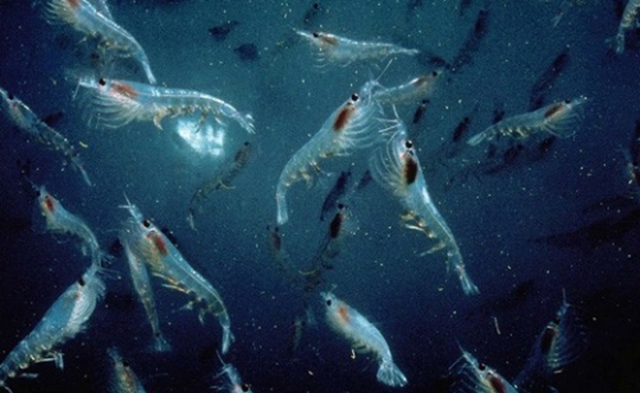 Krill, the foundation of the Antarctic marine food chain, may be at a greater risk in warmer seas. Photo: Norkrill / flickr