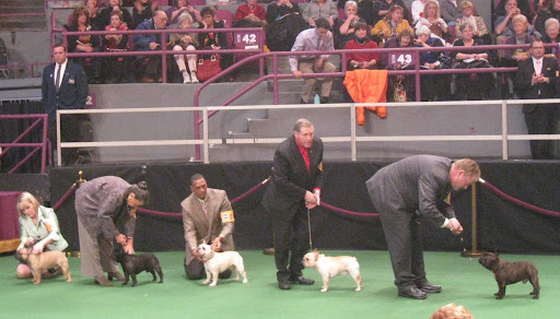 French Bulldogs in the ring