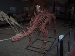2008.09.05-004 Tuojiangosaurus multispinus