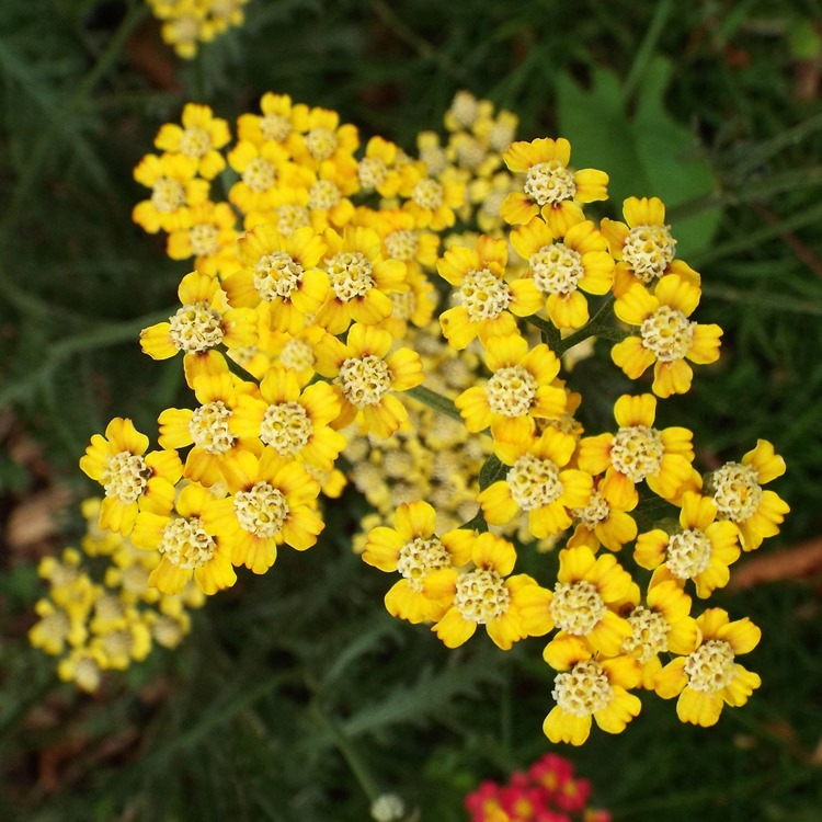 mini yellow blooms