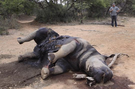 In this photo taken on 22 November 2012, a carcass of a rhino lays on the ground at Finfoot Lake Reserve near Tantanana, South Africa. South Africa says at least 588 rhinos have been killed by poachers this year alone, 8 rhinos at the Finfoot Lake Reserve, the worst recorded year in decades. The number has soared as buyers in Asia pay the U.S. street value of cocaine for rhino horn, a material they believe, wrongly, medical experts say, cures diseases. Denis Farrell / AP Photo